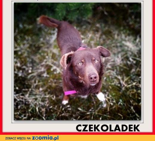 8kg,mały,młodzutki,łagodny,rodzinny piesek CZEKOLADEK.ADOPCJA,  dolnośląskie Wrocław