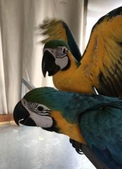 Niebieskie i złote papugi Ary