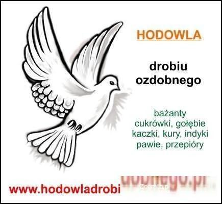 Hodowla drobiu ozdobnego - Ptaki ozdobne