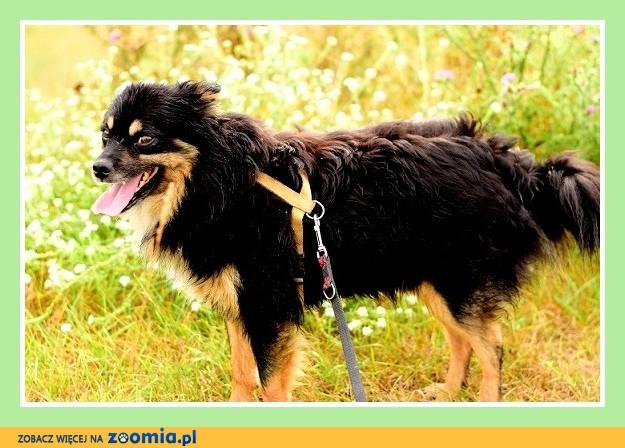 Średni psiak w typie szpica,spokojny, przytulaśny SZPICU_Dam