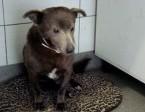 Mały 9 kg ,czekoladowy,grzeczny łagodny,nieśmiały psiak MONTE_Adopcja