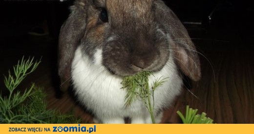 Sympatyczne króliki szukają domu,  mazowieckie Warszawa