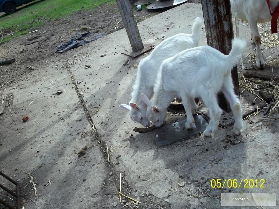 koza kozy mleczne dojne koziołki capek do dalszego chowu