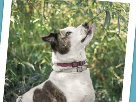 Amstaff mix dla doświadczonych kontaktowy pies ALBIN_Adopcja_