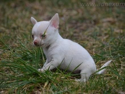 Chihuahua krótkowłosa suczka (FCI)