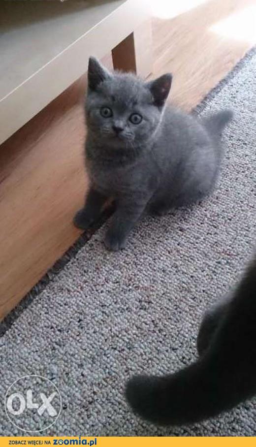 Kot Rasowy Ogłoszenia Z Hodowli Sprzedam Koty Zoomiapl Pl 2