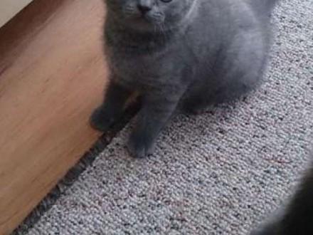 Kot BRYTYJSKI niebieski z rodowodem    śląskie Bielsko-Biała