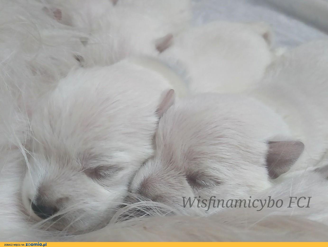 West Highland White Terrier szenięta FCI prawdziwy rodowód