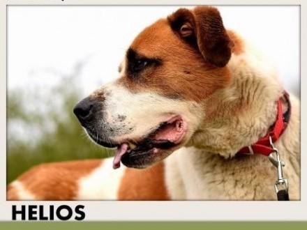 50kg bernardyn mix młody przyjazny pies HELIOSAdopcja   małopolskie Kraków