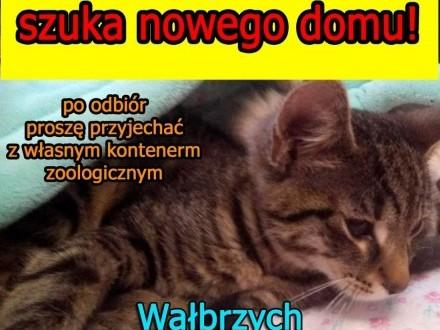 Oddam 3 miesięczną kotkę w dobre ręce   dolnośląskie Wałbrzych