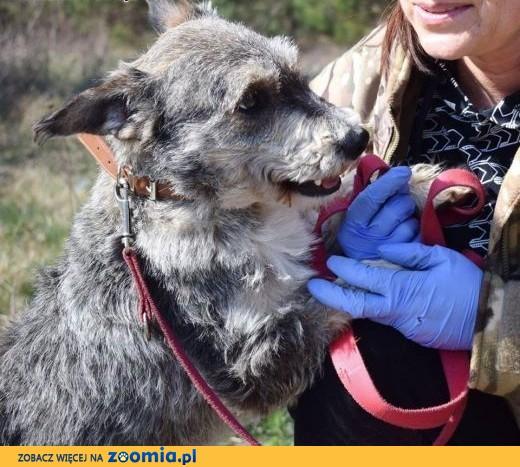 Poznaj DOLARA - przyjacielskiego, niedużego psiak.,  lubelskie Lublin