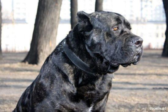 Świeże Śliczna sunia CANE CORSO do adopcji!! « Cane Corso « Oddam psa KB74