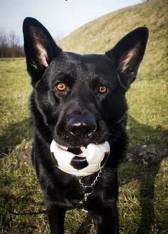ALEX  3-letni pies w typie owczarka niemieckiego czarnego DO ADOPCJI!   małopolskie Kraków