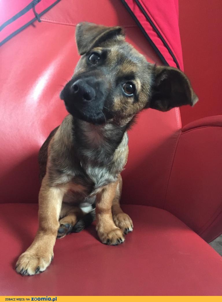 4 miesięczna Frania, niewielki szczeniak do adopcji