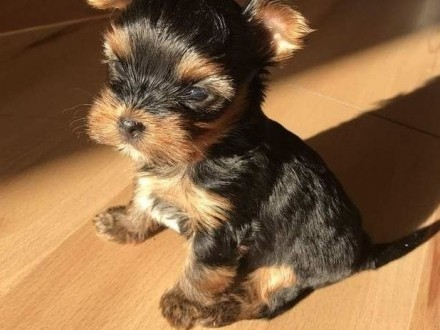York - yorkshire terrier - piesek