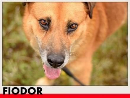 FIODOR  40kg duży spokojny zrównoważony pies do adopcji   dolnośląskie Wrocław