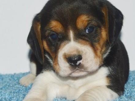 Niesamowite Beagle szczenieta do przyjecia