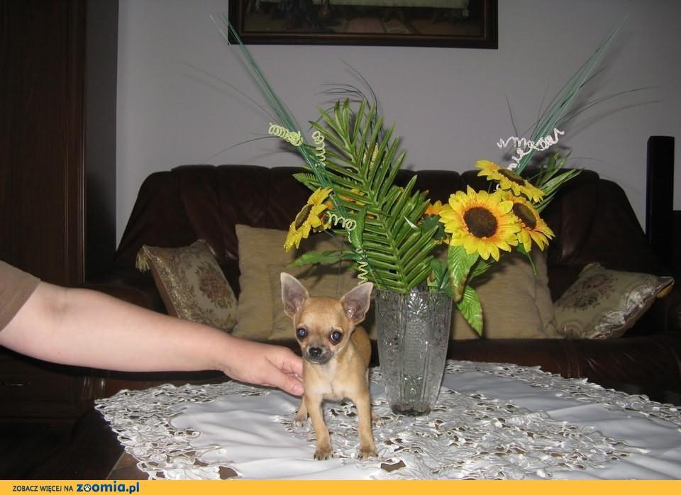 Chihuahua unikatowy miniaturowy piesio w ślicznym kolorku biszkoptowym