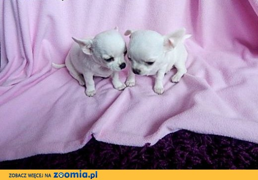 Chihuahua suczki,  dolnośląskie Wrocław