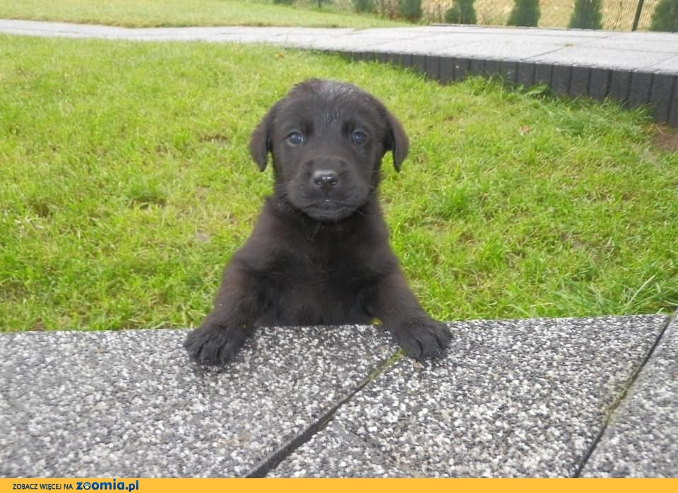 Szczeniaki Labrador