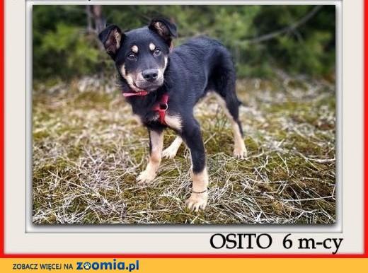 6- mies, szczeniak, pinczer do adopcji, Osito.,  małopolskie Kraków