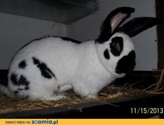 króliki belgijskie