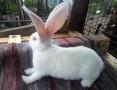 'króliki belgijskie