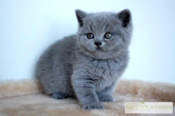 Małe Słodkie Grubaski Kocięta Brytyjskie Z Rodowdem Brytyjski