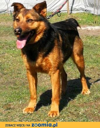 MISIEK - fajny, 4-letni psiak uratowany z łańcucha; do adopcji,  małopolskie Kraków