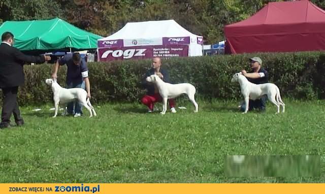 Dog Argentynski / Dogo Argentino