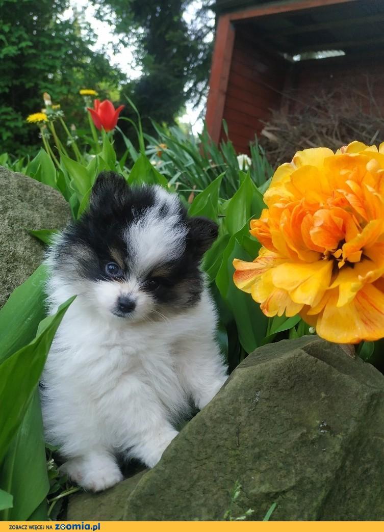 Piękny misiaczek SIMBA BOY Pomeranian miniaturowy