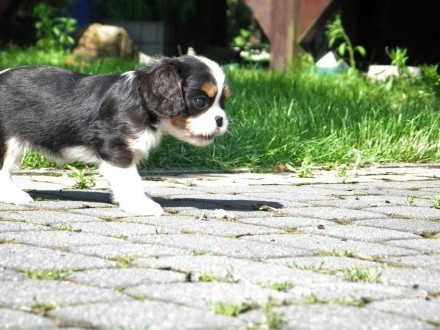 Cavalier King Charles Spaniel ZKwP FCI