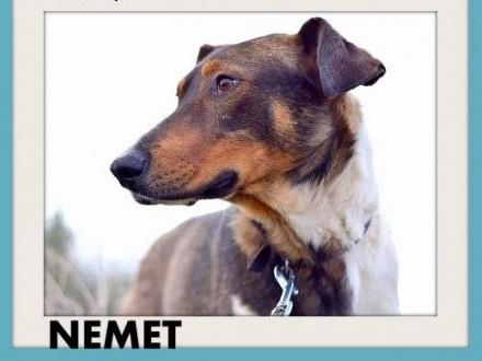 NEMET chart mix młody łagodny wesoły  pies do adopcji   wielkopolskie Poznań