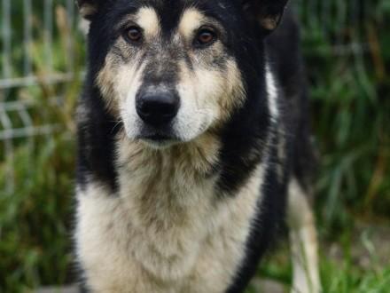 Astor  piękny pies w typie MALAMUTA szuka kochającego domu!