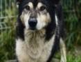 Astor, piękny pies w typie MALAMUTA szuka kochającego domu!