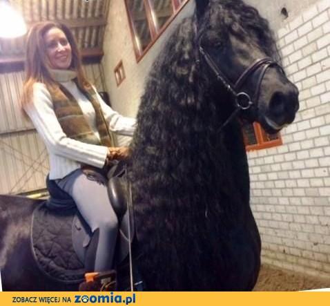2 konie fryzyjskie do przyjęcia, 1 ogier klacz 1,  małopolskie Biały Dunajec
