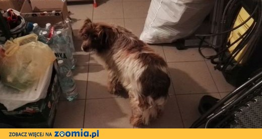 Znaleziono brązowo-białego psa,  łódzkie Łódź