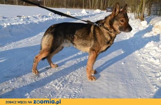 Aleks - uroczy wilkowaty pies do adopcji,  mazowieckie Warszawa