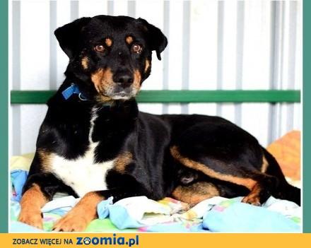5 letni  duży 29 kg  gładkowłosy spokojny  grzeczny pies BUBU_Adopcja