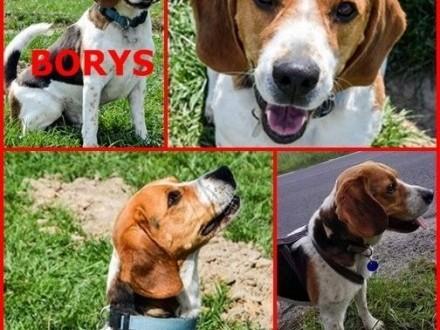 Beagle Borys poszukuje zdecydowanego właściciela   Beagle cała Polska