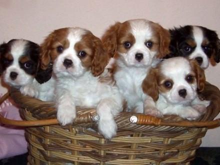 Cavalier King Szczeniaki gotowe do Adopcji