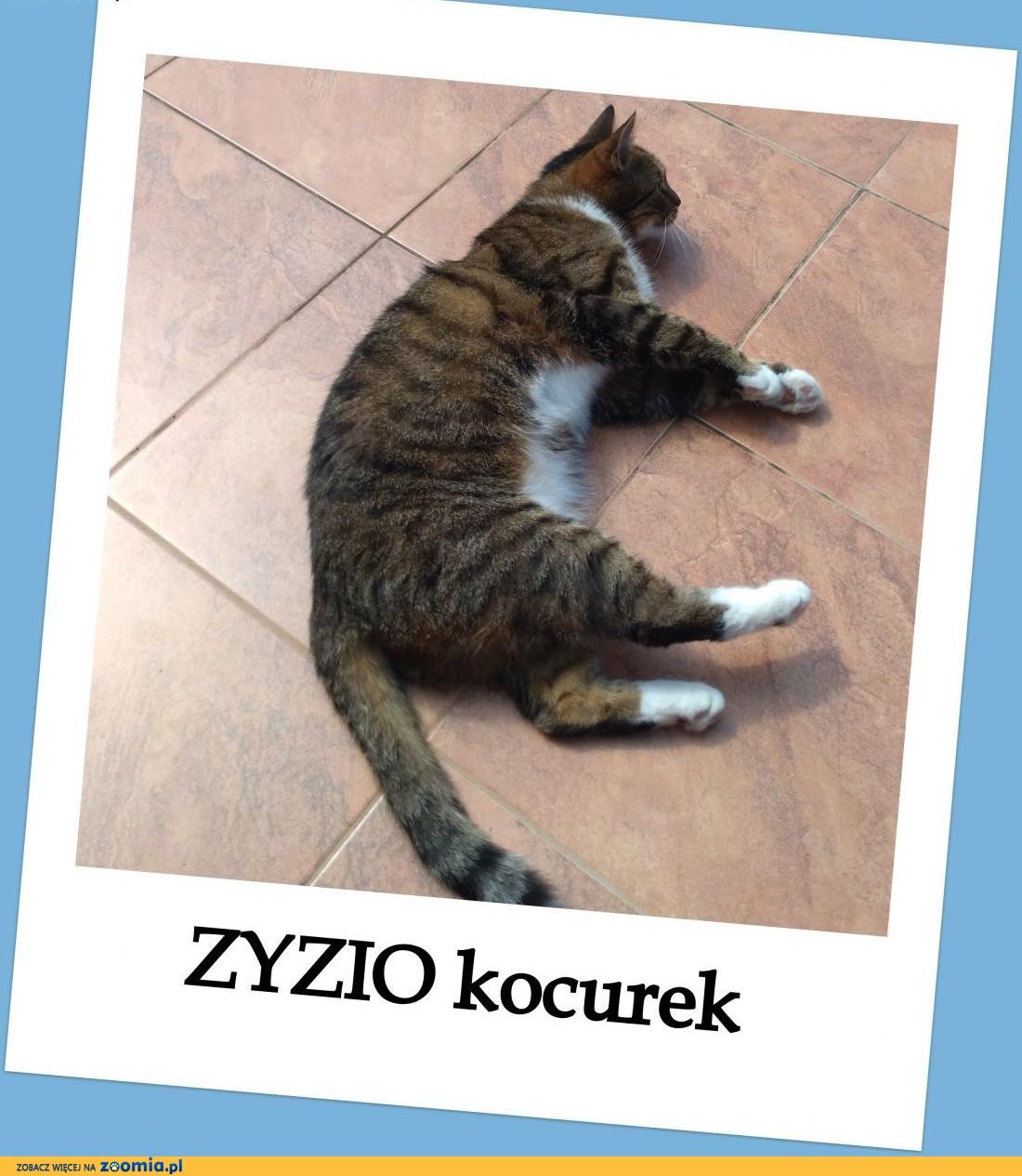 Roczny,wykastrowany kocurek ZYZIO,miziasty,grzeczny,wykastrowany.PILNIE ADOPCJA!,  małopolskie Kraków