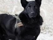 ORION ułożony pies w typie czarnego owczarka niemieckiego szuka domu