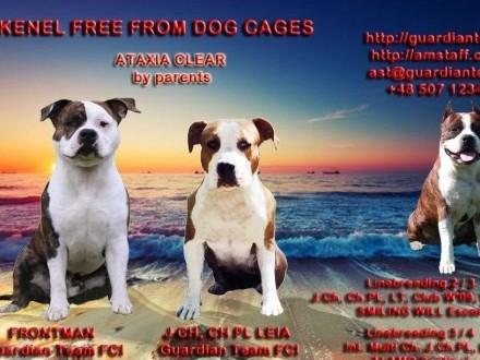 AMSTAFF  American Staffordshire Terrier - ZKwP (FCI) - zapowiedź miotu