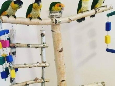 Papugi ręcznie karmione   Ara Chloroptera  Barwinki