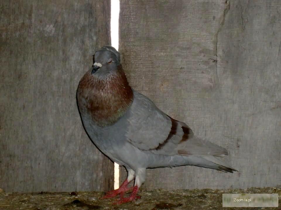 Sprzedam 4 gołębie.