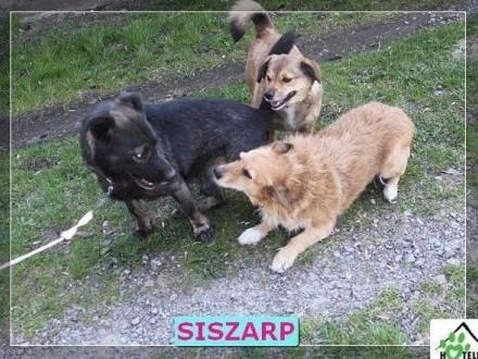 Siszarp-mały  młody  kochany chce być adoptowany