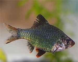 Rybki akwariowe – Brzanki Mszyste