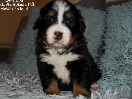Berneński Pies Pasterski Szczenięta z rodowodem ZKwP/FCI