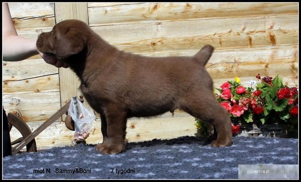 Labrador Retriever/labradory